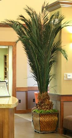 Preserved Date  Palm