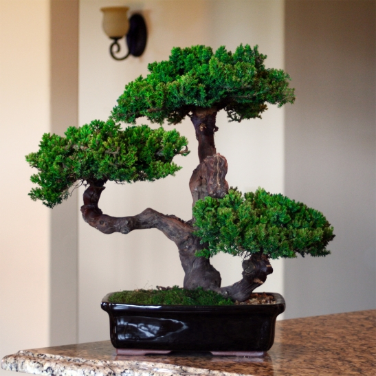 outdoor bonsai tree care instructions