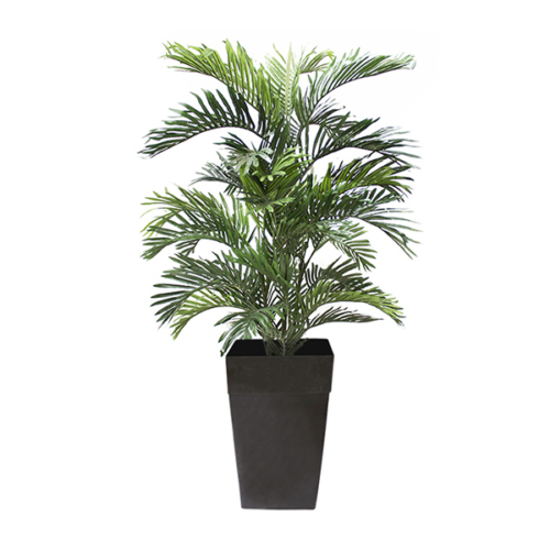 ARECA PALM -6 FT IN BLACK POT -CPARREXT