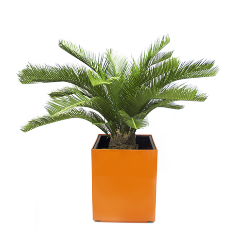 SMALL 3 FT ARECA PALM IN ORANGE POT-CPARREXT112-600x600