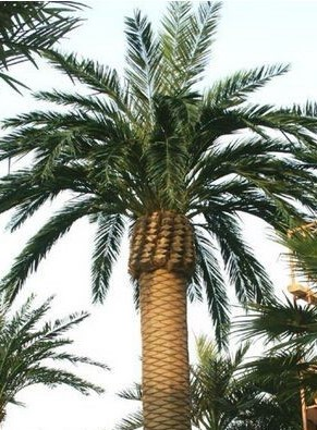 Large Date Palm