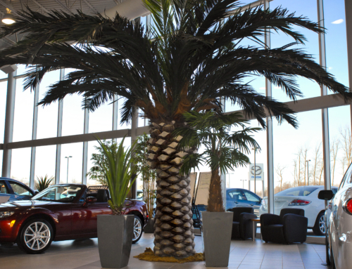 Classic Preserved  18 ft Date Palm  Shown in Car Dealership